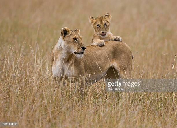 lioness with cubs, panthera leo - mammifero foto e immagini stock