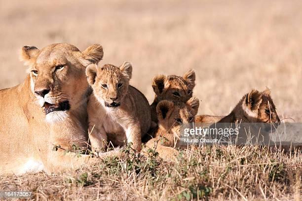 lioness with cubs - lion cub stock-fotos und bilder