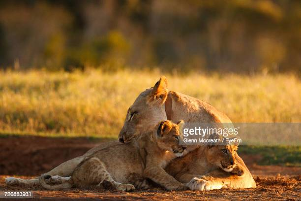 Lioness With Cubs Relaxing On Field During Sunset