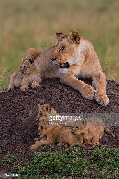 Lioness with four cubs on an ant hill