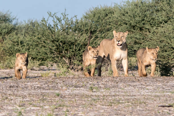 Lioness with her three cubs