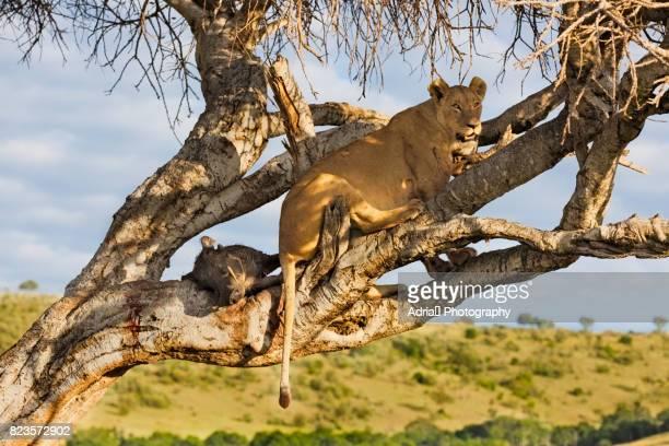 lioness with its prey - facocero foto e immagini stock