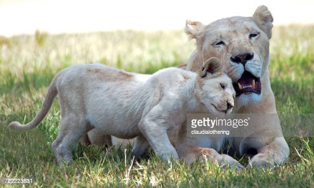 Lioness with Lion Cub, Limpopo, South Africa