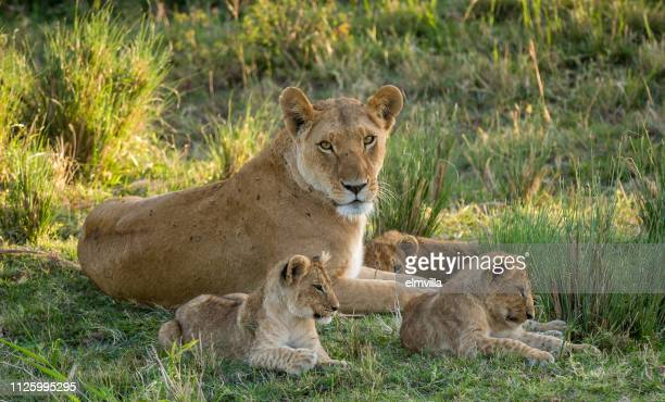 lioness with three cubs in the masai mara kenya - lioness stock pictures, royalty-free photos & images