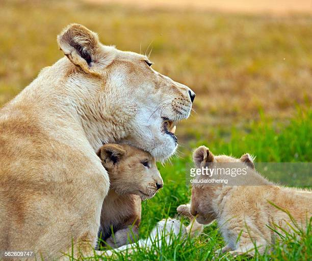 Lioness with two lion cubs, South Africa