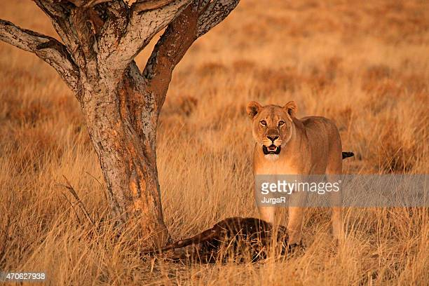 Lioness with Wildebeest Prey in Africa