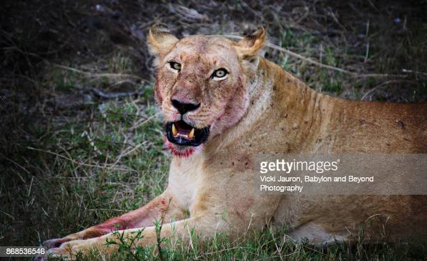 Lioness WithBlood on Face in Masai Mara, Kenya