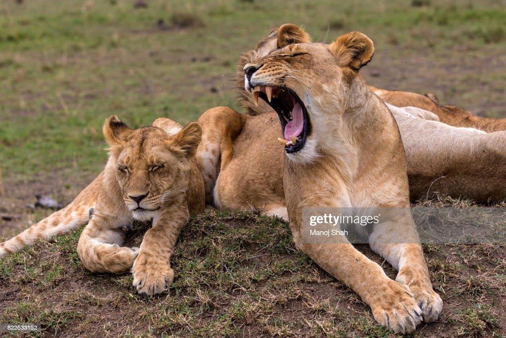 lioness yawning : Stock Photo