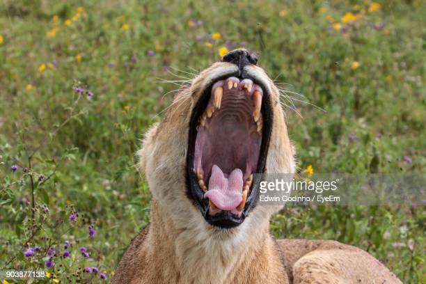 Lioness Yawning While Resting On Grassy Field