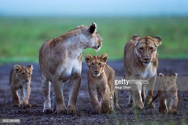 lionesses and cubs gathered together - gruppo di animali foto e immagini stock