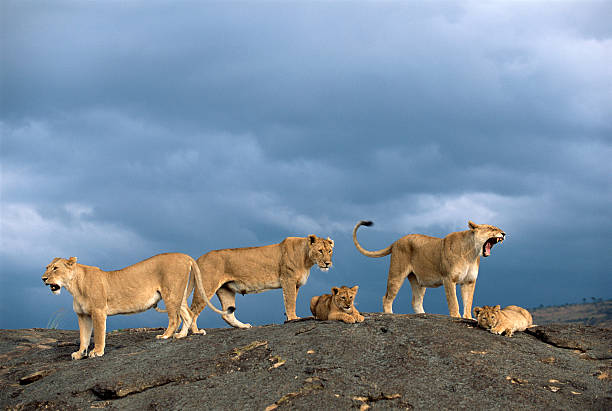 Lionesses And Cubs (Panthera Leo) On Rocky Outcrop Wall Art