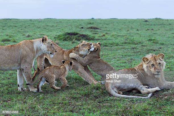 lionesses and young male playing with cubs - 動物の雄 ストックフォトと画像