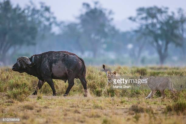 lionesses attacking a buffalo - lion attack stock pictures, royalty-free photos & images