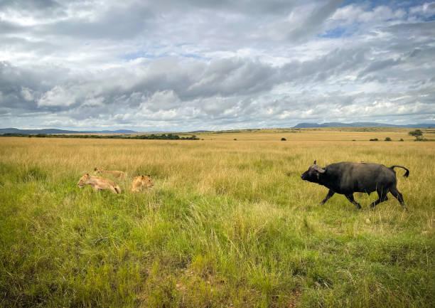 Lionesses chase attack spotted buffalo wildlife savanna Africa safari, Kenya  travel 2021.