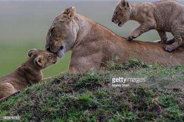 Lionesses grooming cub