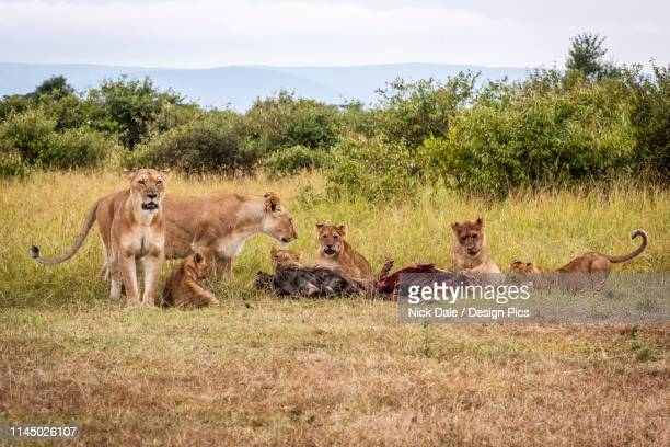 lionesses (panthera leo) guarding five cubs eating wildebeest carcase, maasai mara national reserve - lion attack stock pictures, royalty-free photos & images