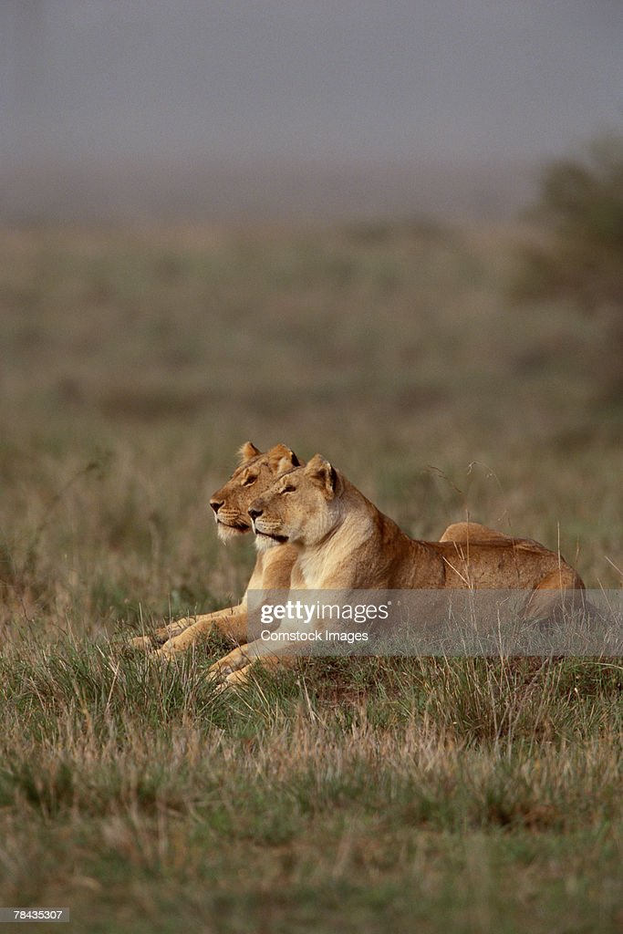 Lionesses in grasslands , Kenya , Africa : Stockfoto