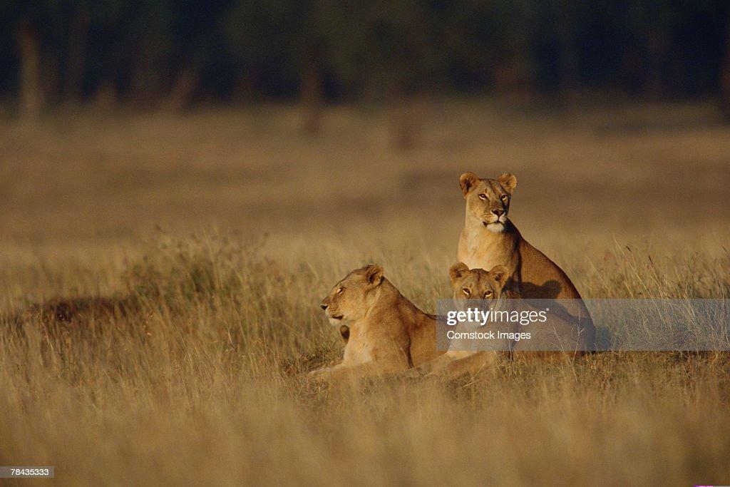 Lionesses in grasslands , Kenya , Africa : Stockfoto