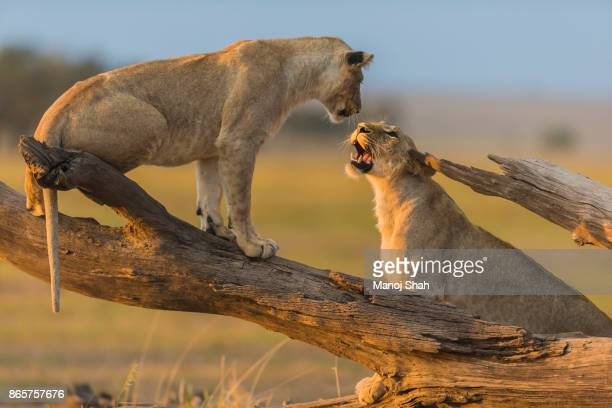 lionesses play fighting on a fallen tree log. - mammal stock pictures, royalty-free photos & images