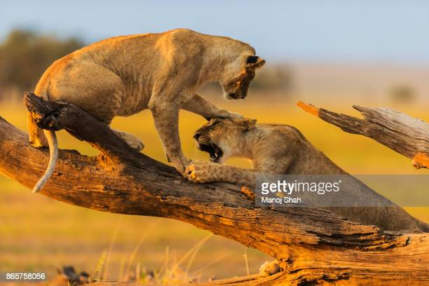 Lionesses play fighting on a fallen tree log.
