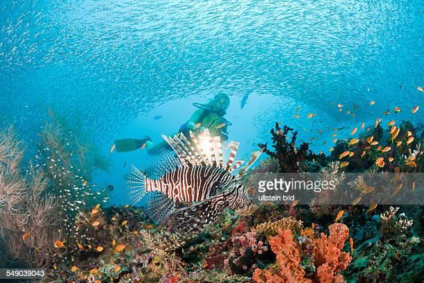 Lionfish and Diver, Pterois miles, Maya Thila, North Ari Atoll, Maldives