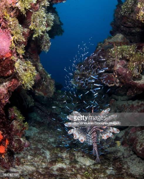 Lionfish eating, Roatan, Honduras.