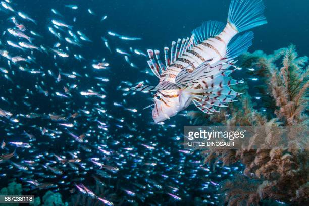 Lionfish hovering in the tiny fish cloud