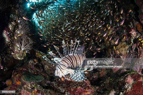 A lionfish hunts for prey on a colorful coral reef.