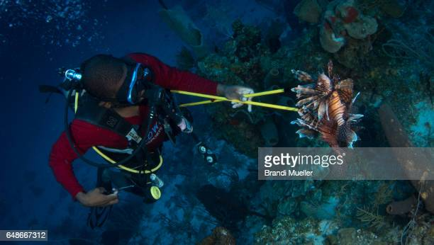 lionfish in the caribbean - exotic_species stock pictures, royalty-free photos & images