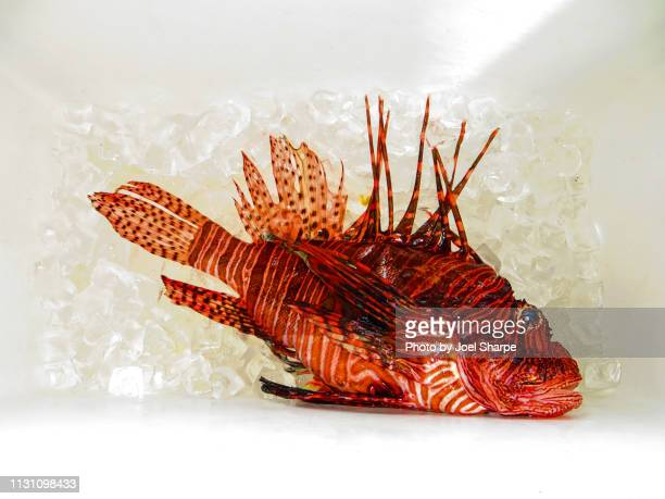 lionfish on ice - exotic_species stock pictures, royalty-free photos & images