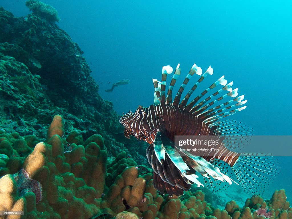 lionfish on top of the reef : Stock Photo
