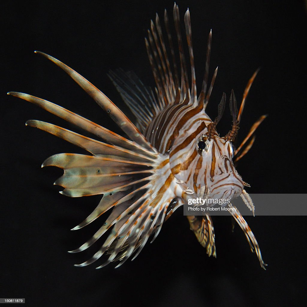 Lionfish : Stock Photo