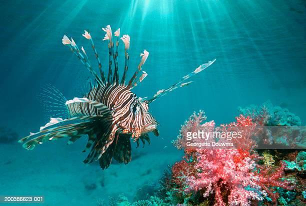 Lionfish (Pterois volitans) (digital composite)