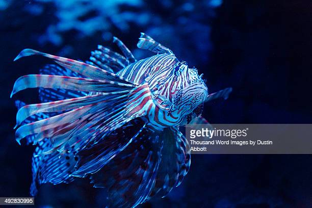lionfish - dustin abbott stock pictures, royalty-free photos & images