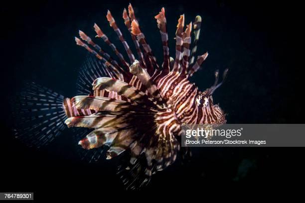 A lionfish portrait, Anilao, Philippines.