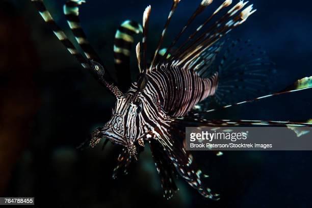 Lionfish portrait, North Sulawesi, Indonesia.
