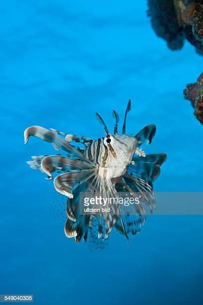 Lionfish Pterois volitans Daedalus Reef Red Sea Egypt