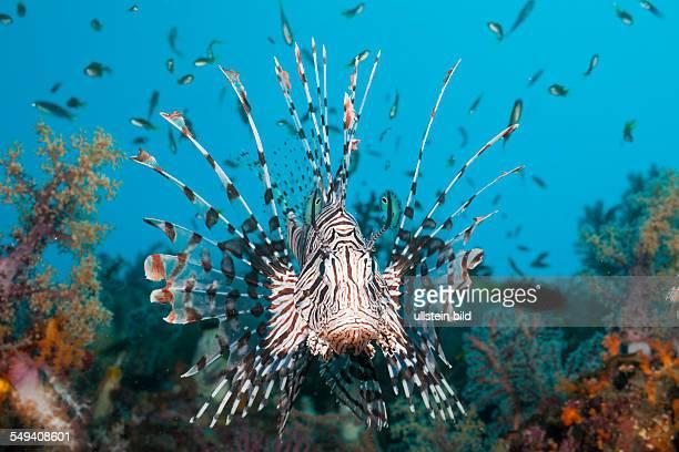 Lionfish Pterois volitans Raja Ampat West Papua Indonesia