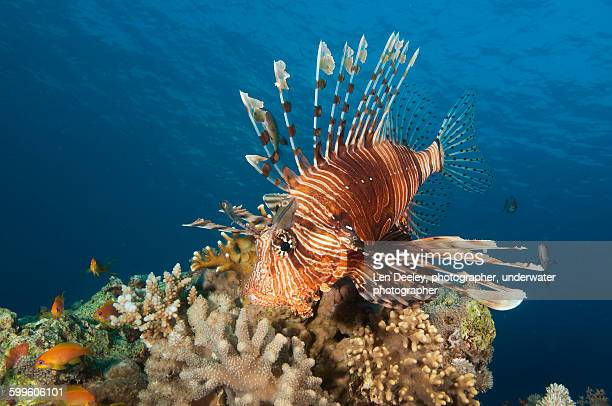 Lionfish Red Sea