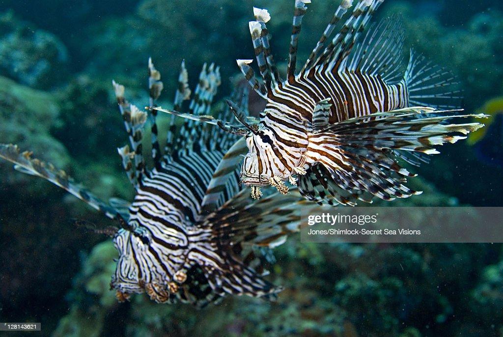 Lionfish, Solomon Islands : Foto de stock