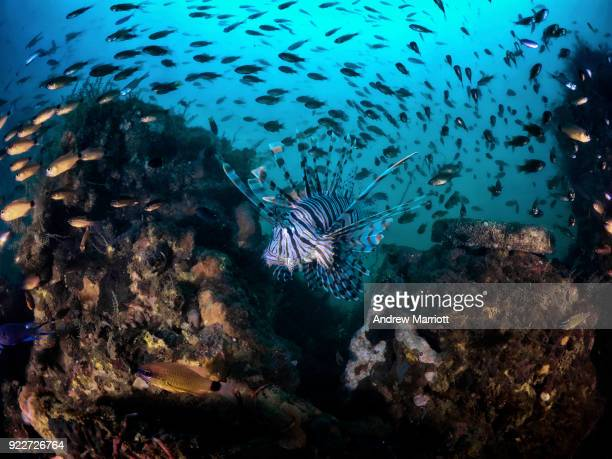 Lionfish surrounded by smaller fish on shipwreck