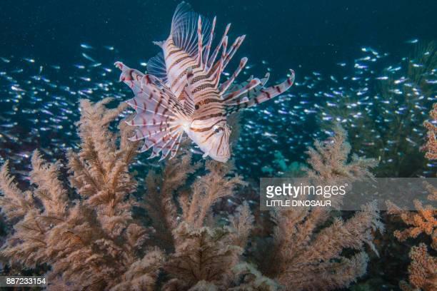 Lionfish swimming around the fish reef