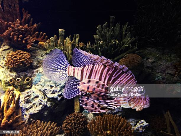 lionfish swimming in sea - jens siewert stock-fotos und bilder