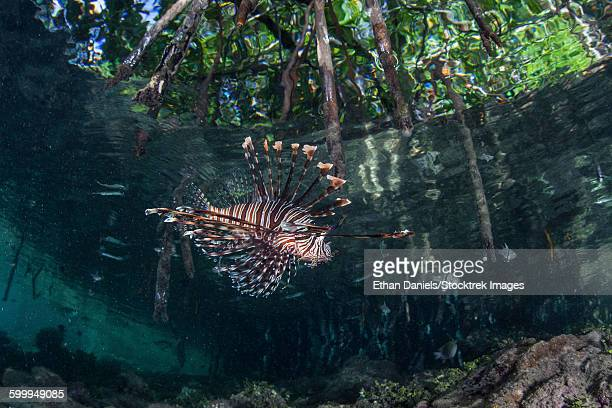 A lionfish swims along the edge of a mangrove.