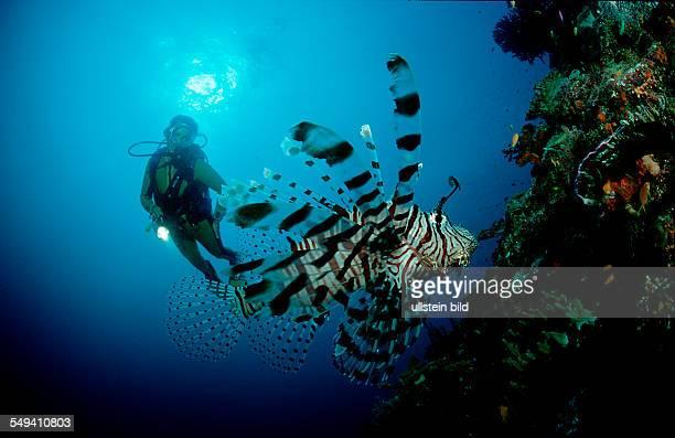 lionfish turkeyfish and scuba diver Pterois volitans Australia Pacific Ocean Coral Sea