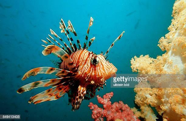 lionfish turkeyfish Pterois volitans Burma Myanmar Birma Indian ocean Andaman sea