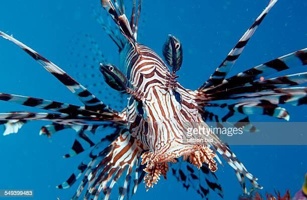 lionfish turkeyfish Pterois volitans Indonesia Indian Ocean Komodo National Park