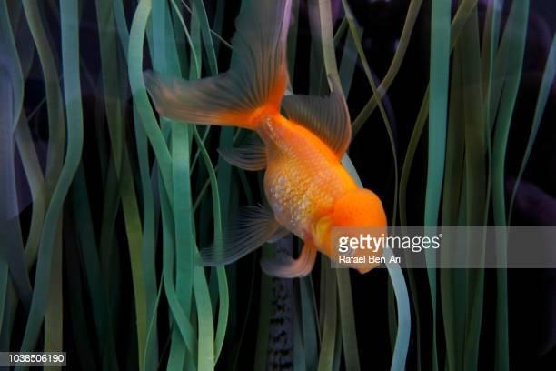 lion-head goldfish - rafael ben ari stock-fotos und bilder
