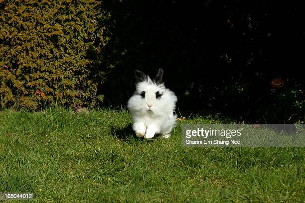 lionhead white rabbit hopping - nee nee stock pictures, royalty-free photos & images