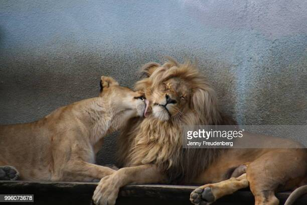 lionlove - czech hunters stock pictures, royalty-free photos & images